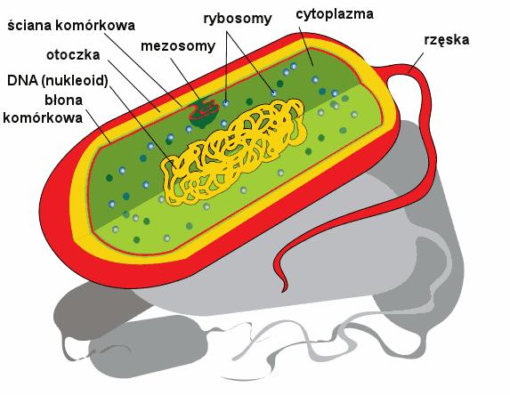 budowa bakterii