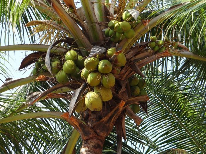Naturalna woda kokosowa jest prawdziwą bombą witaminową.